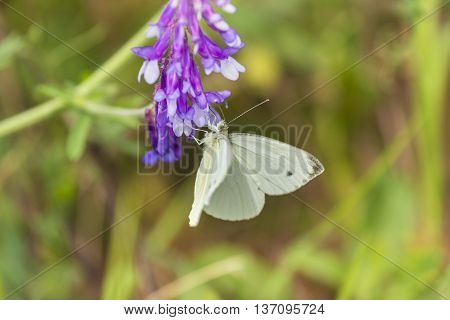 Butterfly on flower in nature. Yellow butterfly in flower garden. Butterfly pollinating spring flowers.