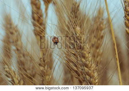 Ladybug in wheat field. Ladybug insect in wheat field