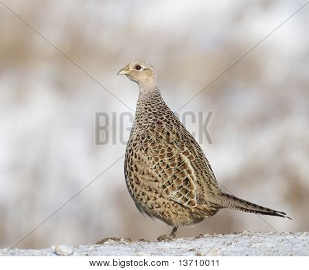 Common Ring-neck Pheasant, Phasianus Colchicus