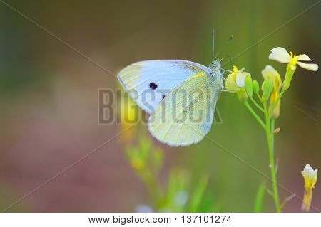 Small White butterfly (Pieris Rapae) commonly called the Cabbage White