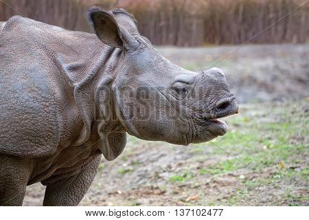 Rhino in the wild, a portrait in a clearing