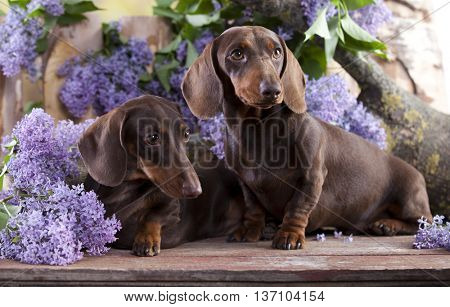 dachshund dog and flower