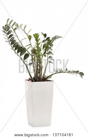 Vertical shot of a ZZ plant in a white ceramic flowerpot isolated on white background
