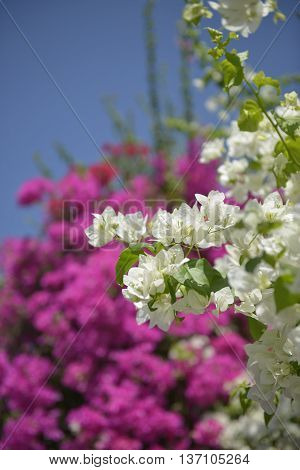 Bright white flowers on a luscious pink background