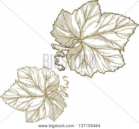 Engraving style vector illustration of grape leaves isolated on white background. Element for design.
