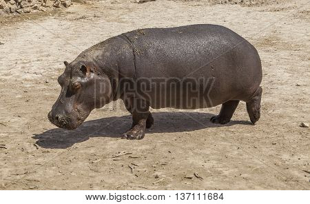 The hippopotamus makes walk in the natural park in Spain