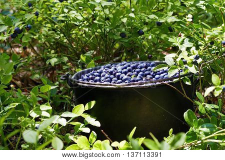 Pot with wild blueberries in the grass with berries on a Sunny day.