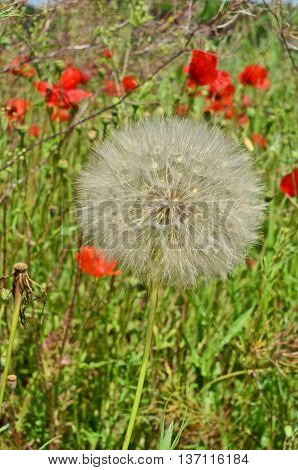 Ripe Dandelion and Poppy flowers in the field