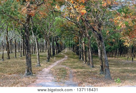 BINH DUONG, Vietnam, May 28, 2016 rubber trees, deciduous season, Binh Duong province, Vietnam