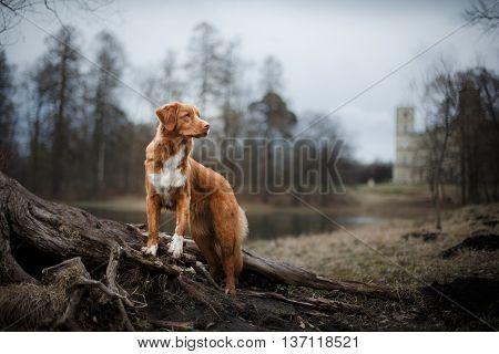 Nova Scotia Duck Tolling Retriever dog in the park
