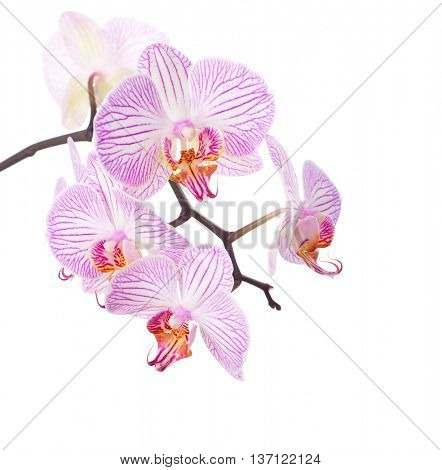 Pink and white  orchid isolated on white.