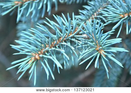 Macro photograph of Blue Spruce branch with blurred background