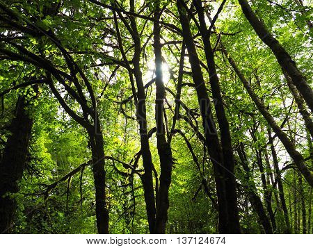 Forest Canopy with Sunbeam Glowing through Leaves