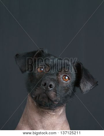 Portrait of mixed peruvian puppy dog with text copy.