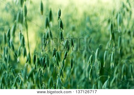 Green oat ears of wheat. Oats growing in a field.