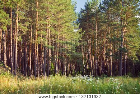 the pine wood with young pines on the sunset with greenery on the foreground