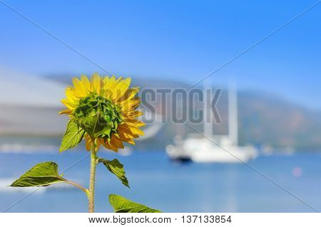 Sunflower facing the sea. Sunflower on a background of sea and boat. The concept of rest. Focus on sunflower