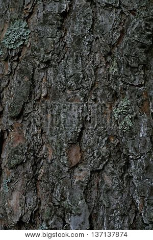 nice oryginal brown bark in the forest