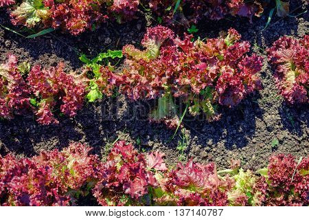 mint plant grow at vegetable garden plants