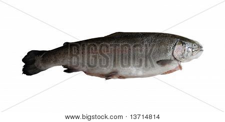 raw fresh sea trout