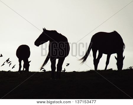 Contrasted horses on a field with birds