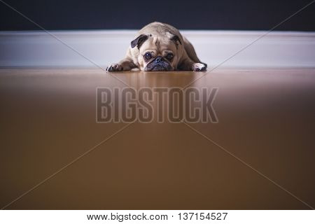 A Pug Photography Shot taken inside of the house