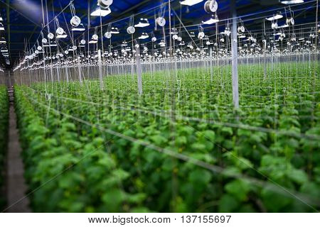 picture, large, fruit-bearing, cucumber greenhouse with artificial lighting