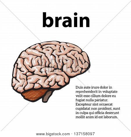 Human brain, illustration sketch of a brain isolated on a white background, color close-up of a human brain, anatomy human body Image