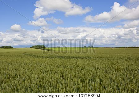 Yorkshire Wolds Wheat Fields