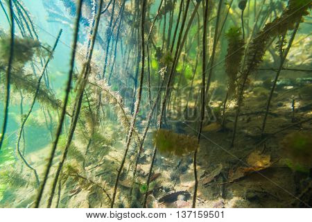 Underwater river landscape with algae in muddy water