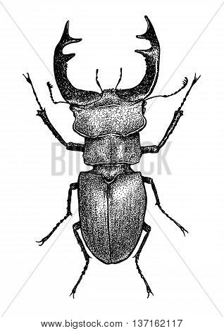 engraved, drawn,  illustration, insect, lucanus, stag-beetle, Lucanus cervus, horn, bug