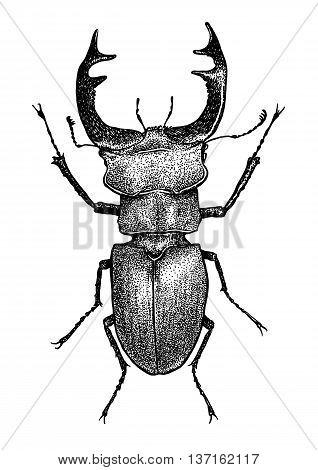 engraved, drawn,  illustration, insect, lucanus, stag-beetle, Lucanus cervus, horn, bug