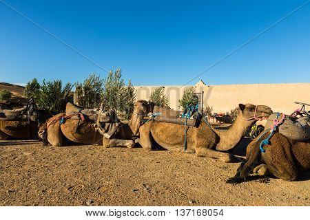 camels in the camp of the Berbers, Sahara desert