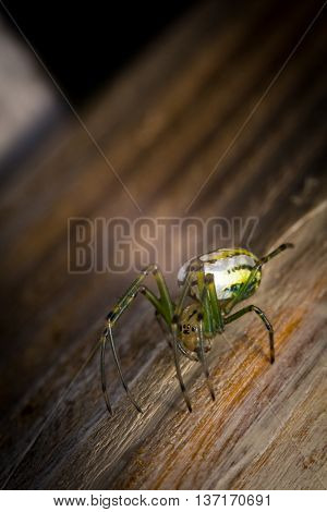 Yellow and green frightening orbweaver orchard spider in macro closeup