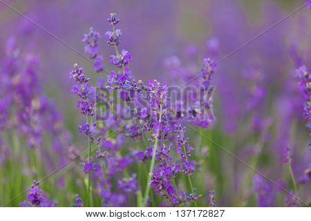 purple lavender blooms in field in June