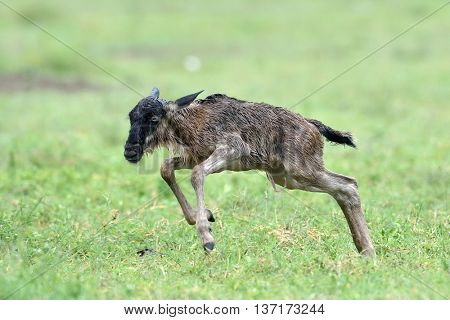 newborn of Blue wildebeest (Gnu or Connochaetes taurinus) in the Serengeti national park