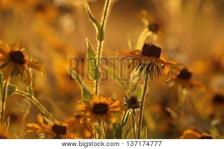 Field of Black Eyed Susan during the Golden Hour.