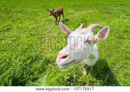 Two goats on a green meadow, countryside