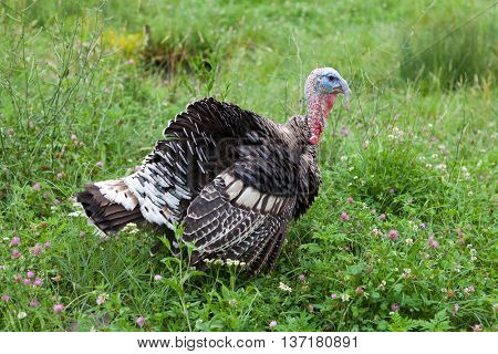 Young male turkey in the countryside