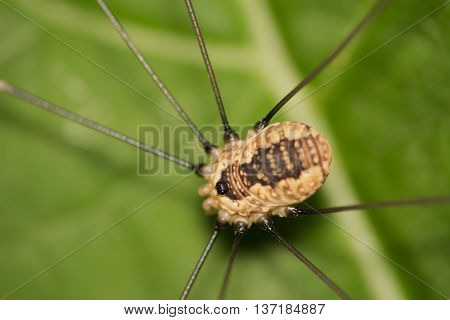 A daddy longlegs perched on a plant leaf.