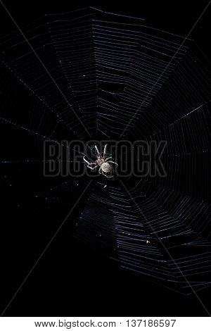 Contrast light image of big brown garden spider in center of his web with small insect prey at night on black background