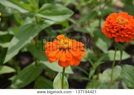 Orange Zinnia flower growing in the garden