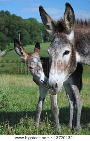 Mother Donkey with her new born baby, less than a day old