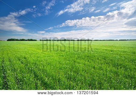 Flax green meadow. Landscape nature composition.