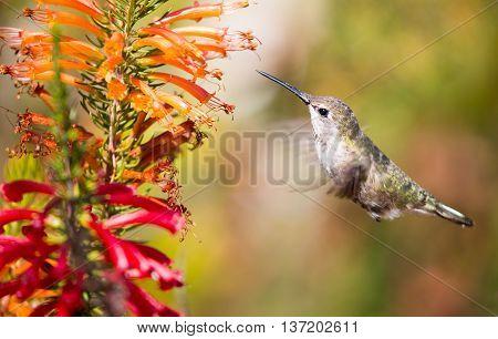Anna's Hummingbird (Calypte anna) hover over colorful flowers.