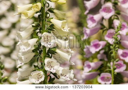 pink and white foxglove flowers in bloom