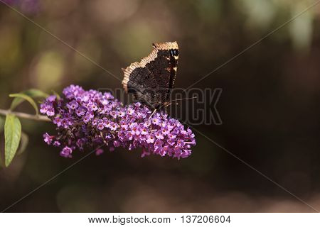 Mourning cloak butterfly, Nymphalis antiopa, in spring