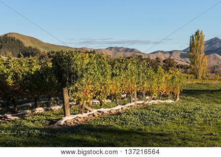 rows of grapevine in Marlborough region in New Zealand
