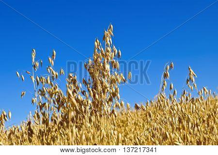 Golden stalks of oats against the blue sky