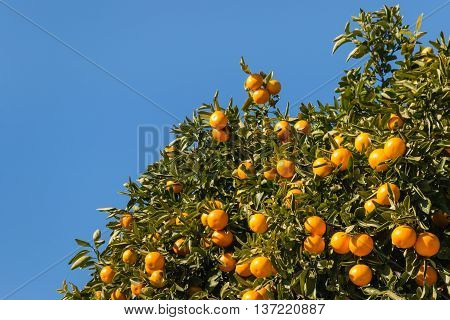 mandarin tree with ripe fruit against blue sky